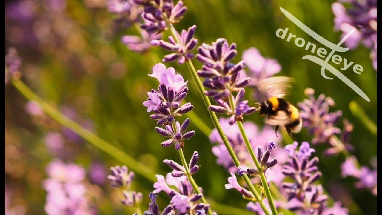 Viola lavanda – coming soon