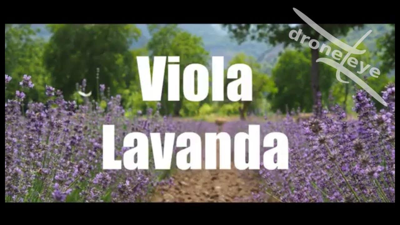 Viola Lavanda