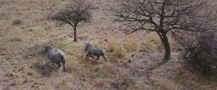 Droni e rinoceronti